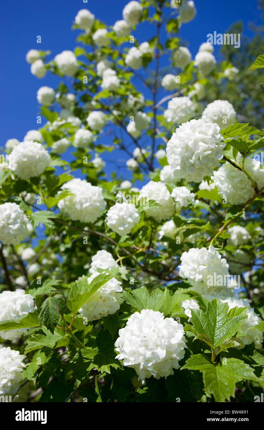 Snowball tree  ( viburnum opulus , Pohjan neito ,  caprifoliaceae ) blooming - Stock Image