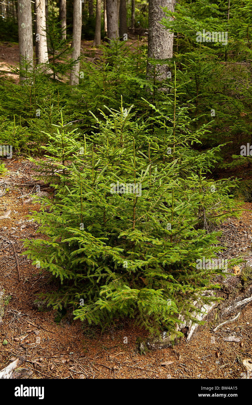 Seedling conifer trees, Pretty Marsh, Acadia NP, Maine, USA - Stock Image