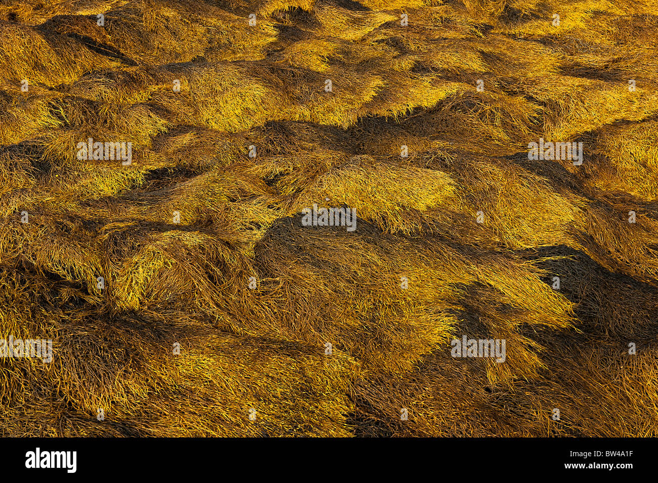 Seaweed at low tide, Maine, USA - Stock Image