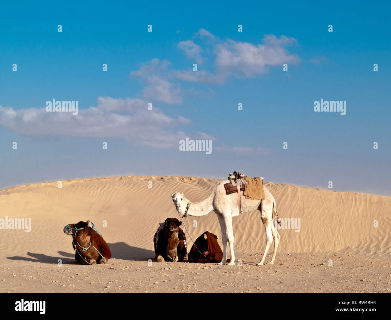 group of camels in the desert,Douz Tunisia - Stock Image
