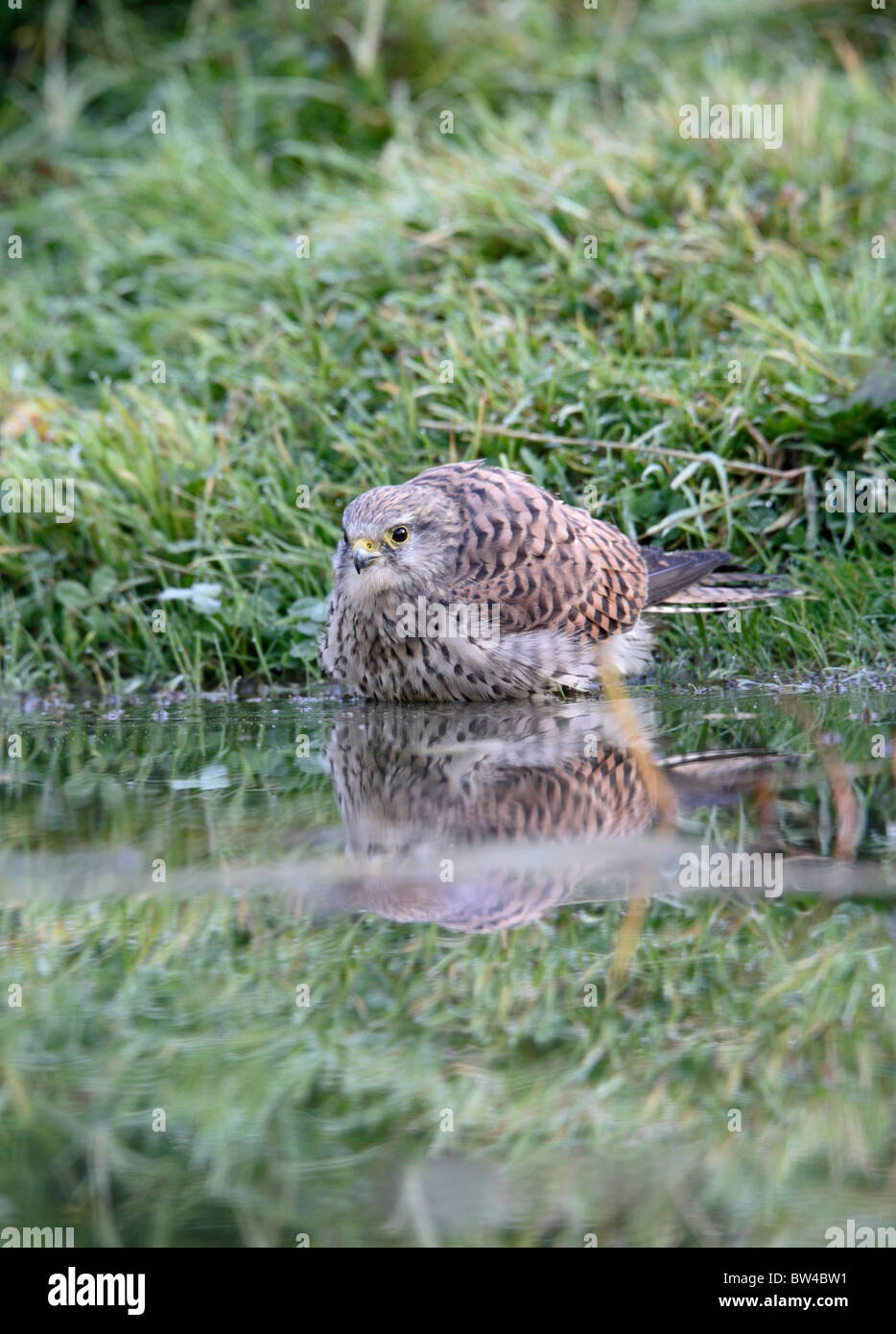 Kestrel ( Falco tinnunculus ) female bathing in pond - Stock Image