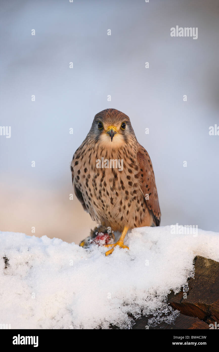 Kestrel ( Falco tinnunculus ) young male on snowy stump with prey - Stock Image