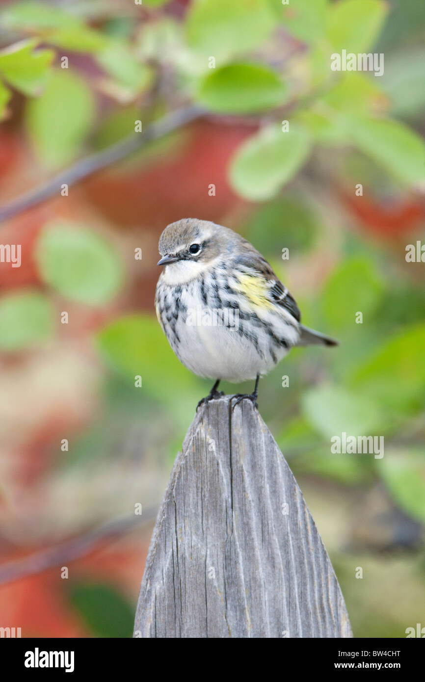 Yellow-rumped Warbler perched on fence post - vertical - Stock Image
