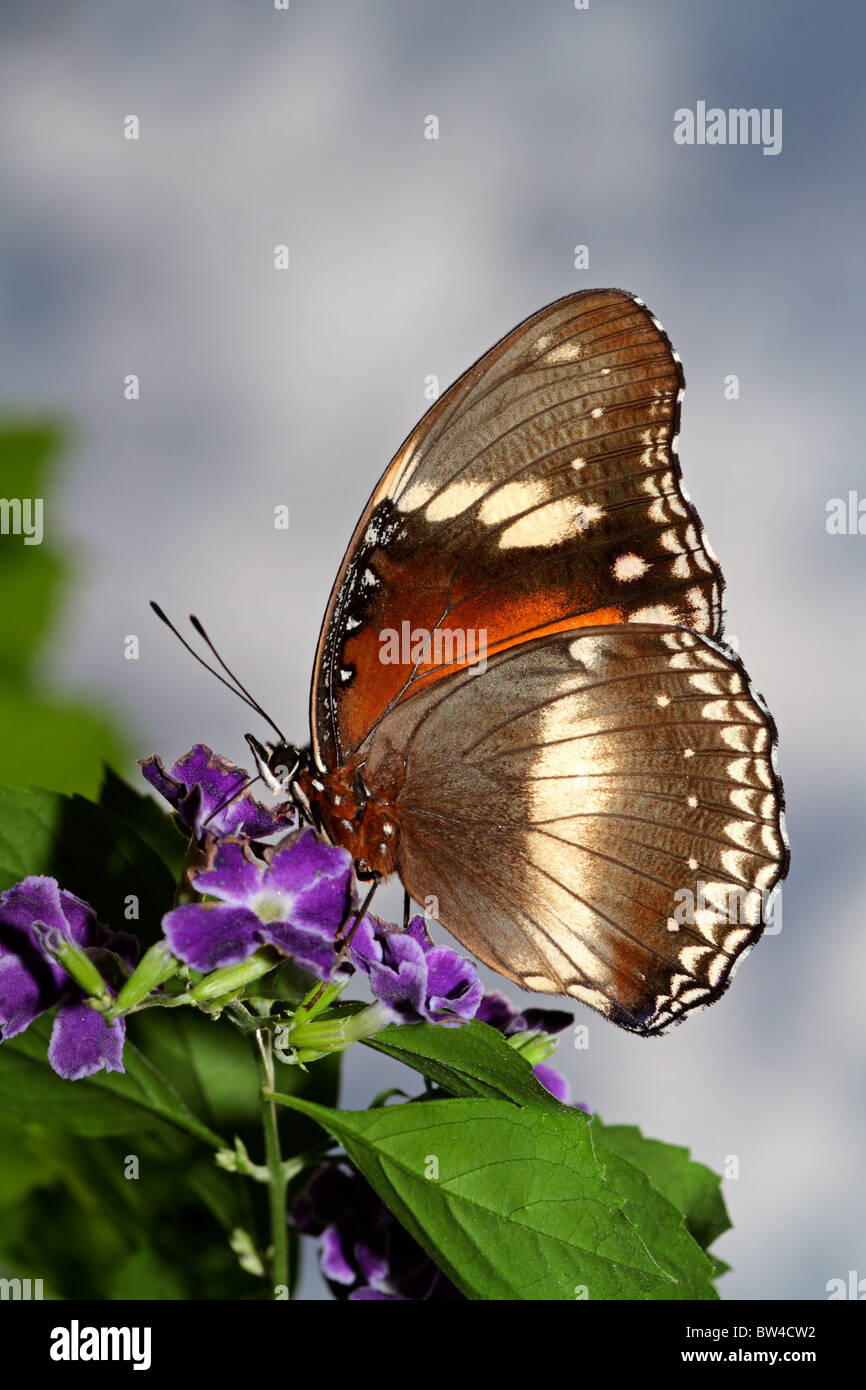 A butterfly feeding on flowers against a sky with clouds - Stock Image