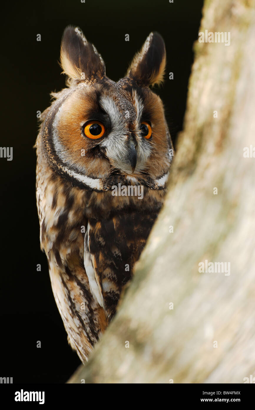 Long eared owl ( Asio otus ) looking around tree - Stock Image