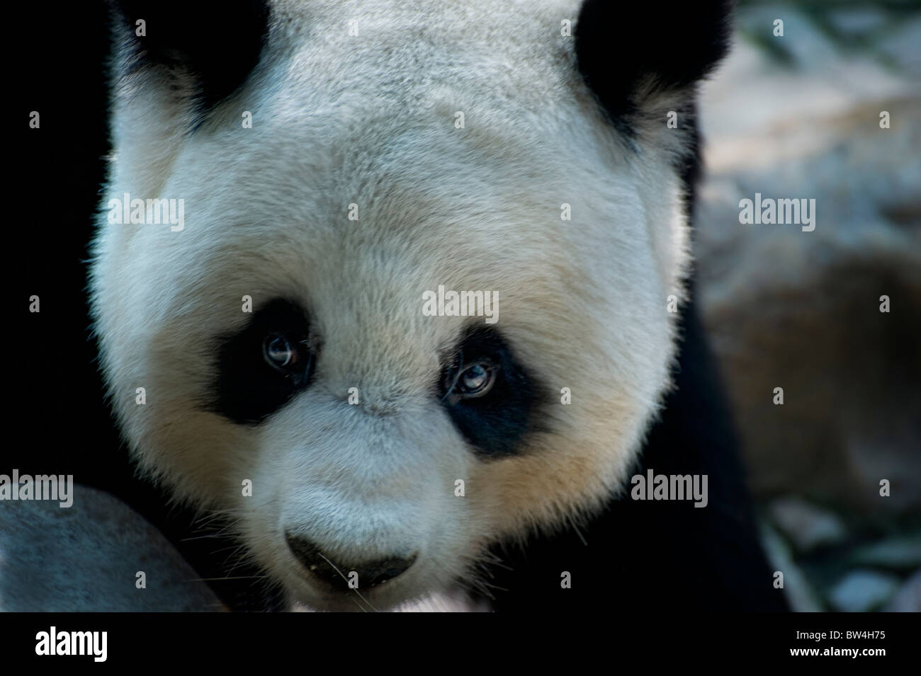 giant Panda bear - Stock Image
