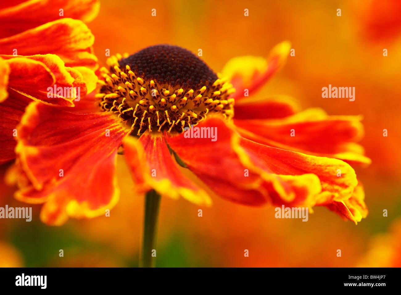 Hot summer Helenium - Stock Image