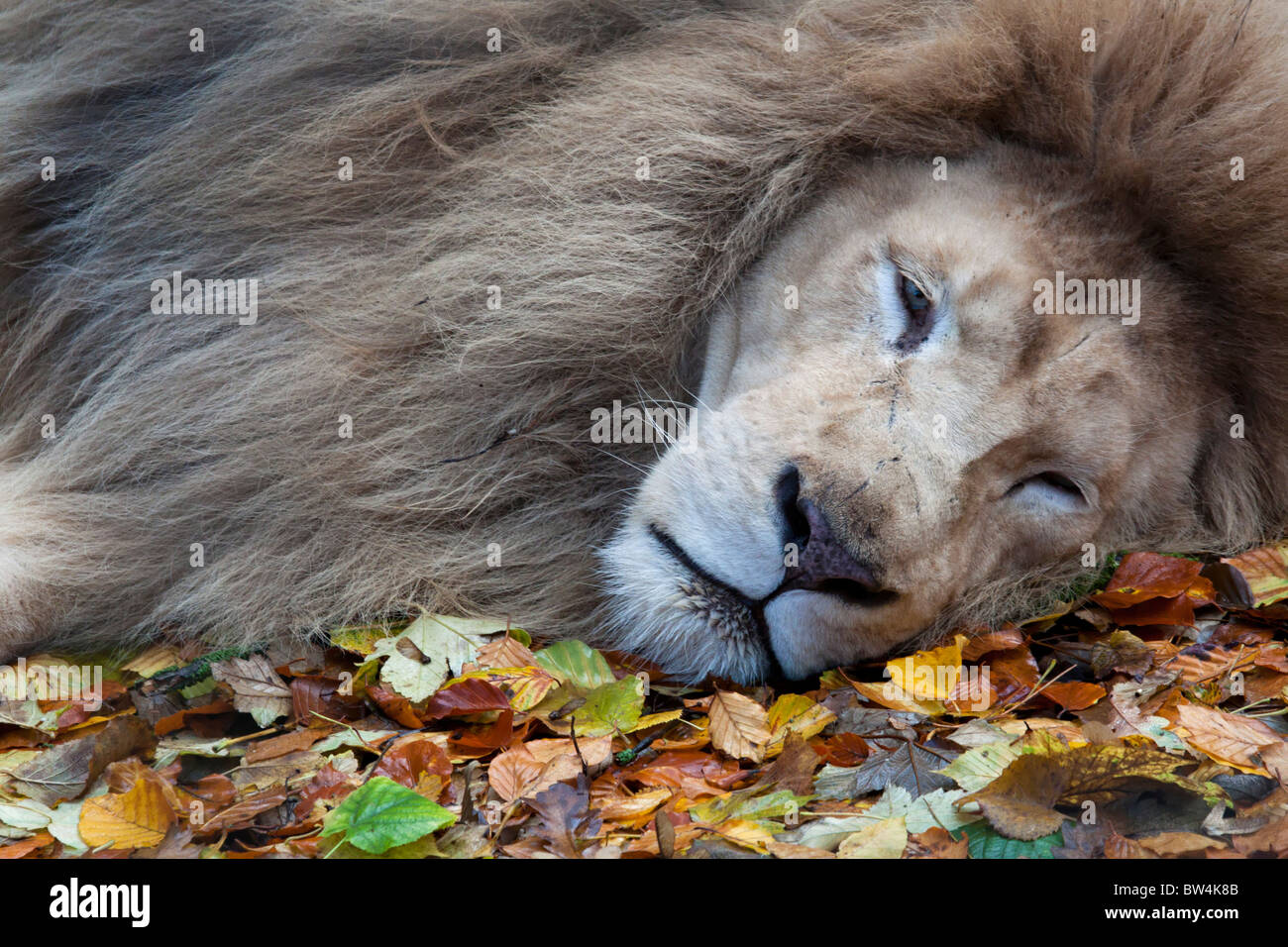 Male white lion - Stock Image