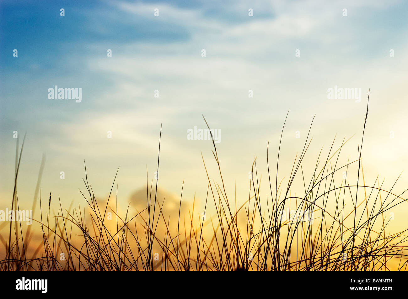 Silhouette of beach grass with a colorful sunset in the background. Gulf Coast, Florida. - Stock Image