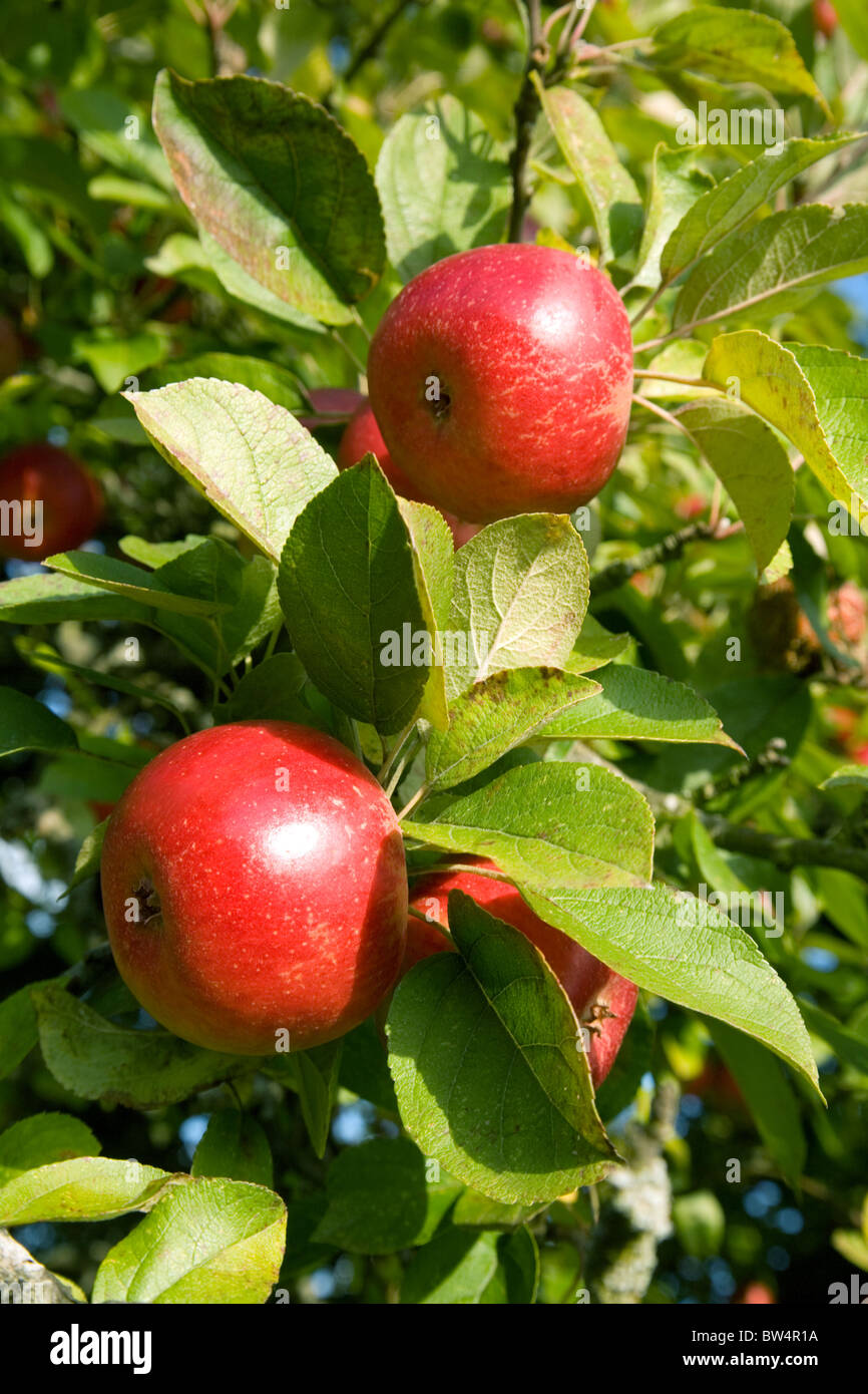 Red apples on an apple tree in the autumn sunshine, East Anglia, UK - Stock Image