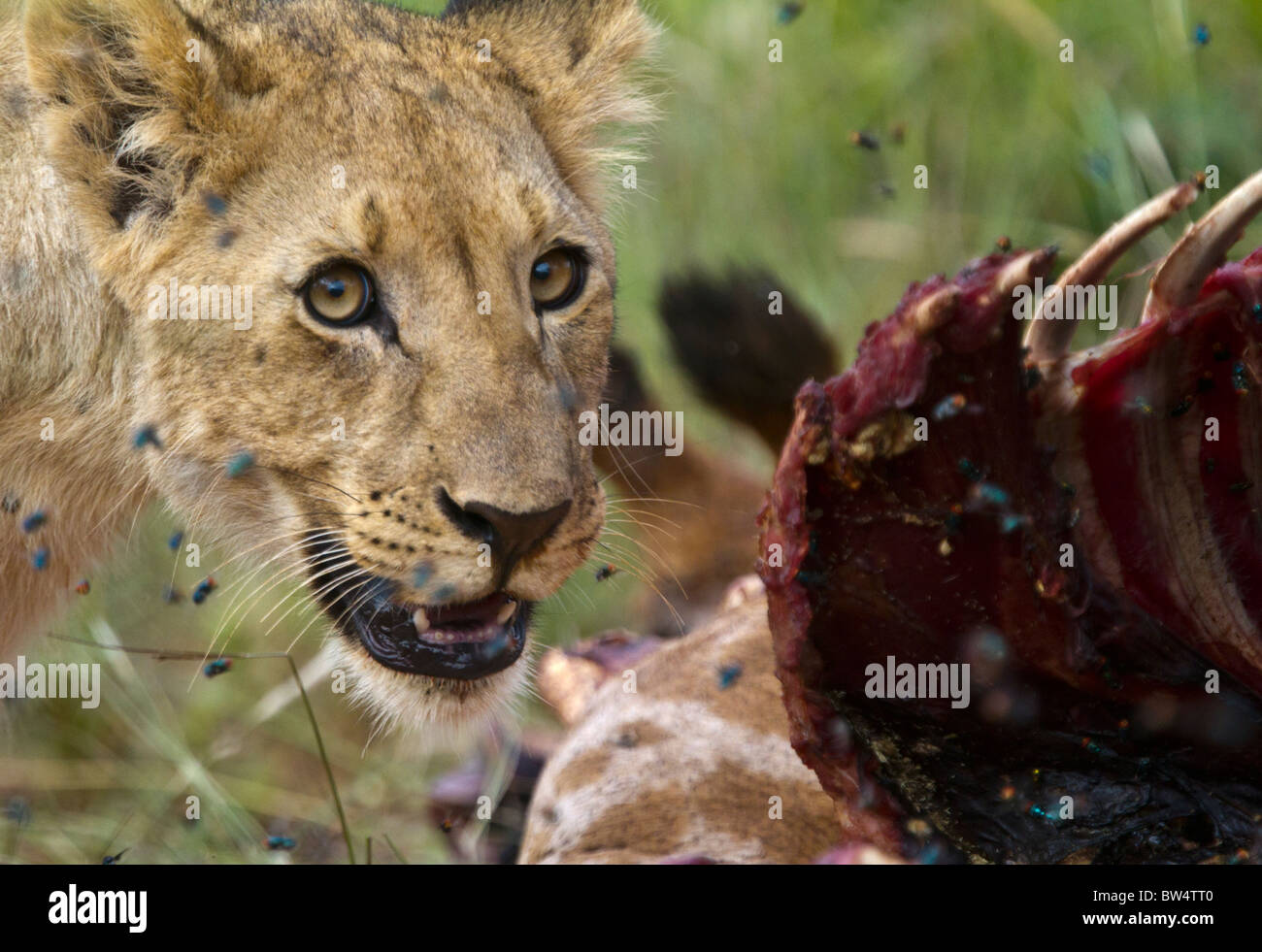 Young lion feeding on the decomposing carcass of a giraffe, surrounded by flies - Stock Image