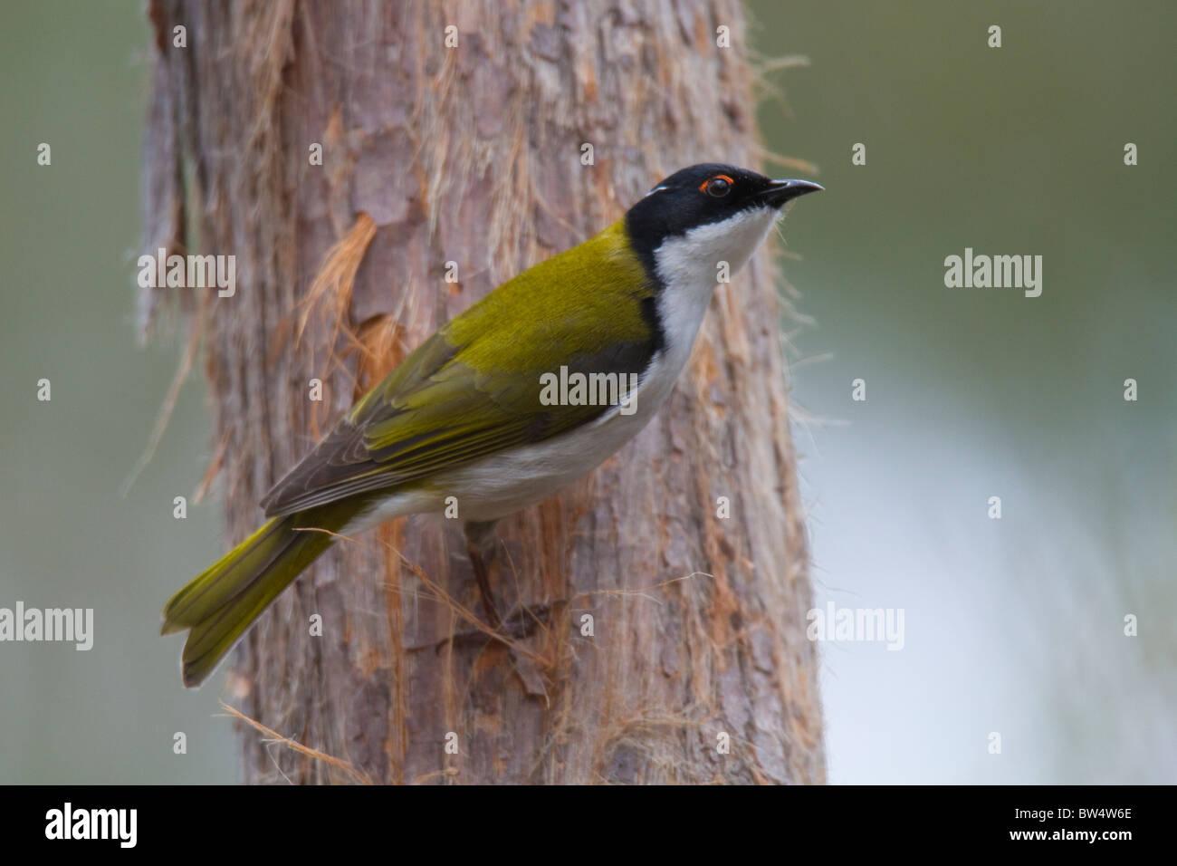 White-naped Honeyeater (Melithreptus lunatus) - Stock Image