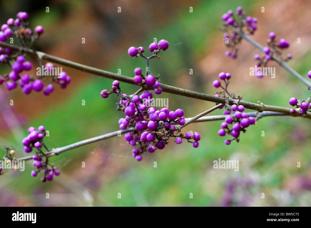 Profusion berries in the autumn - Stock Image