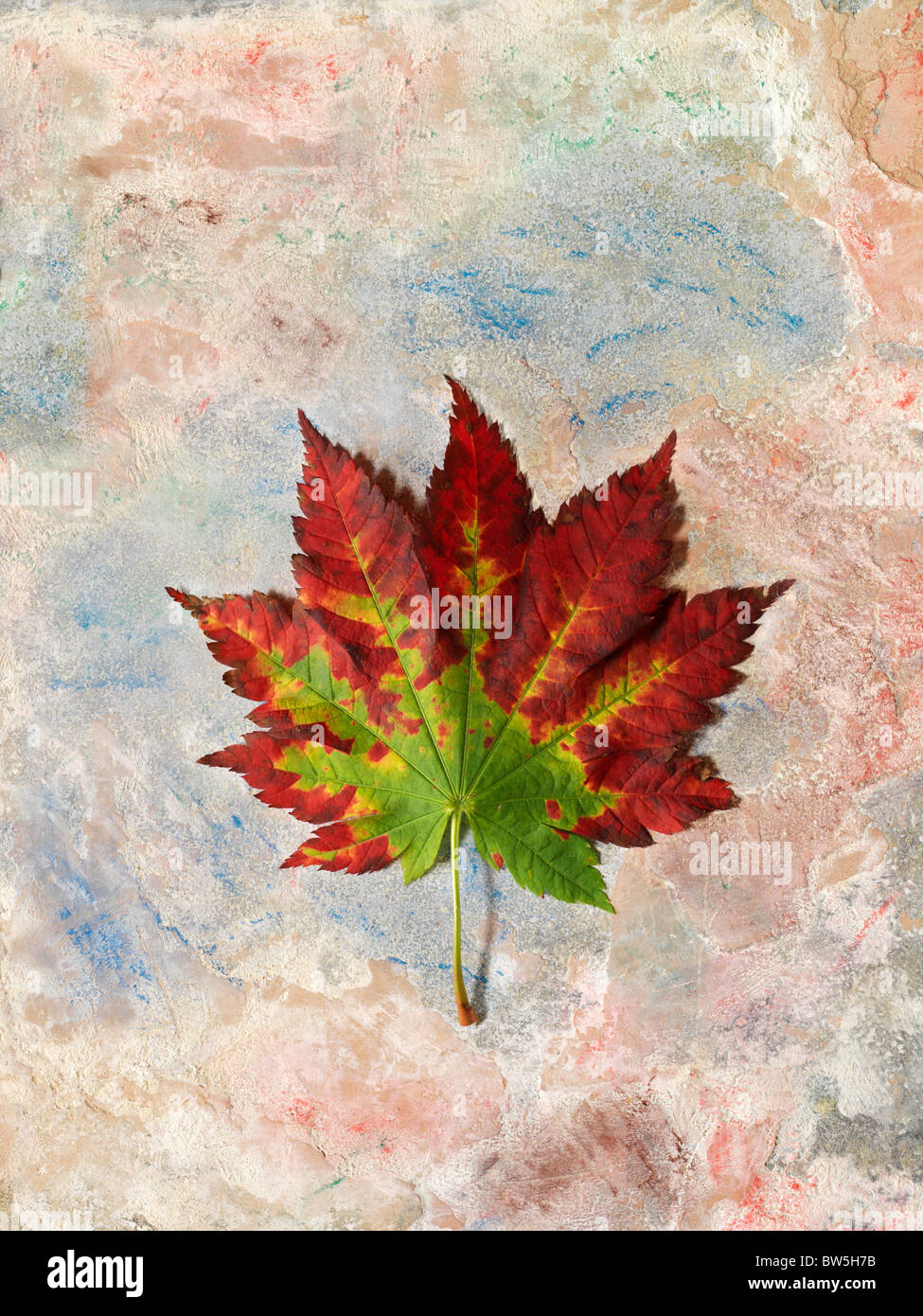 A red and green Maple leaf in Autumn on a painted background Stock Photo
