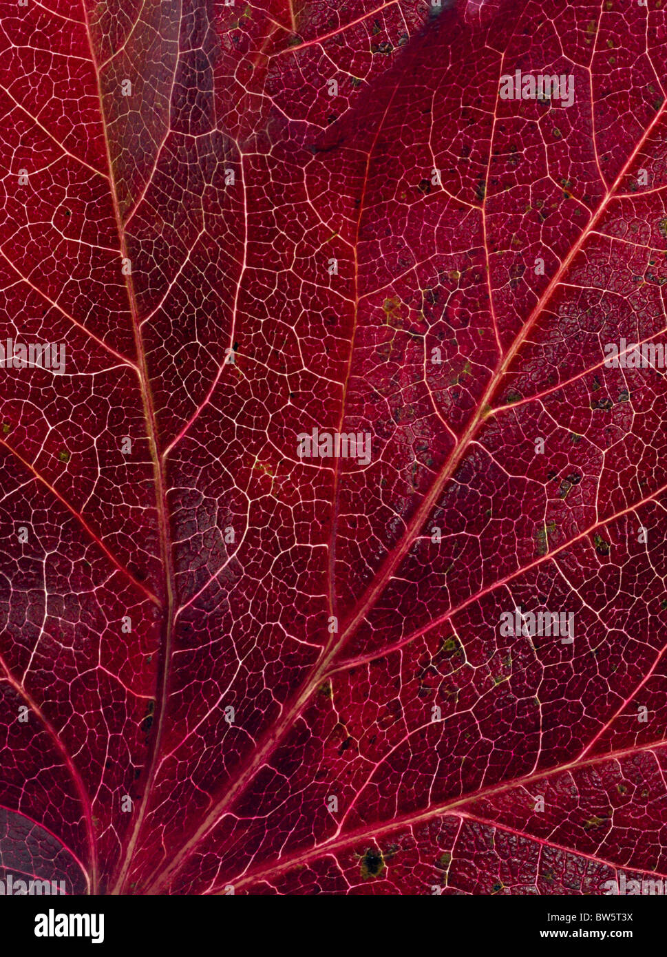 Macro close-up of leaf veins Stock Photo
