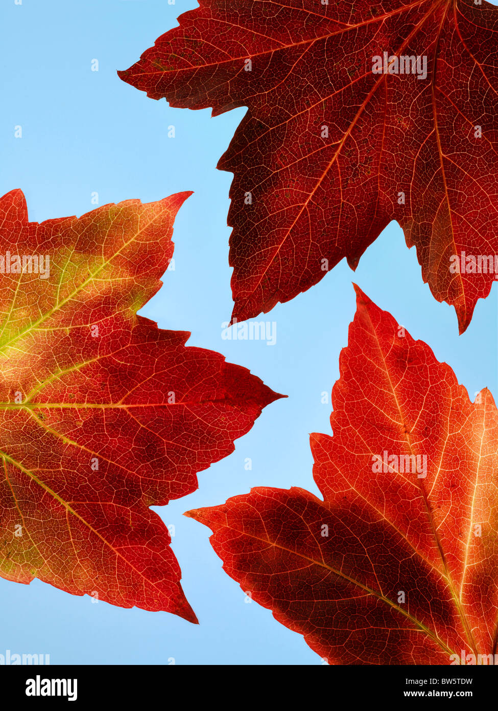Close -up of three red and yellow Autumn vine leaves with blue sky beyond - Stock Image