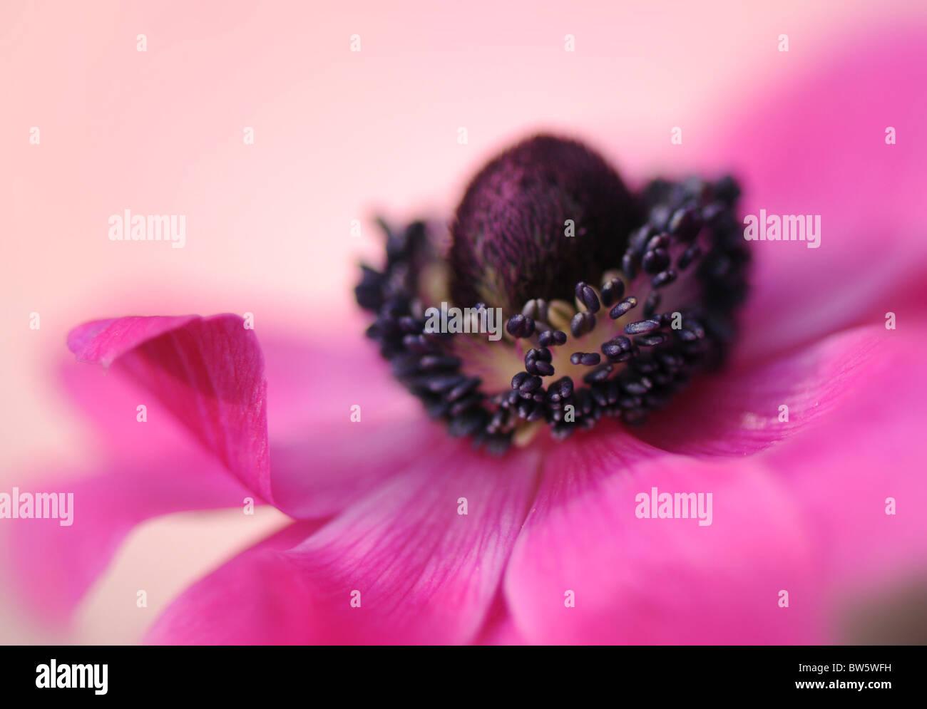 A single pink Anemone De Caen coronaria flower Stock Photo