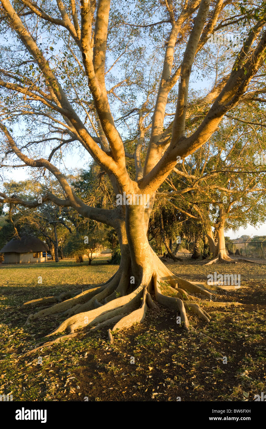 Sycamore fig Tree Ficus sycomorus Letaba Rest Camp at sunrise Kruger National Park South Africa - Stock Image
