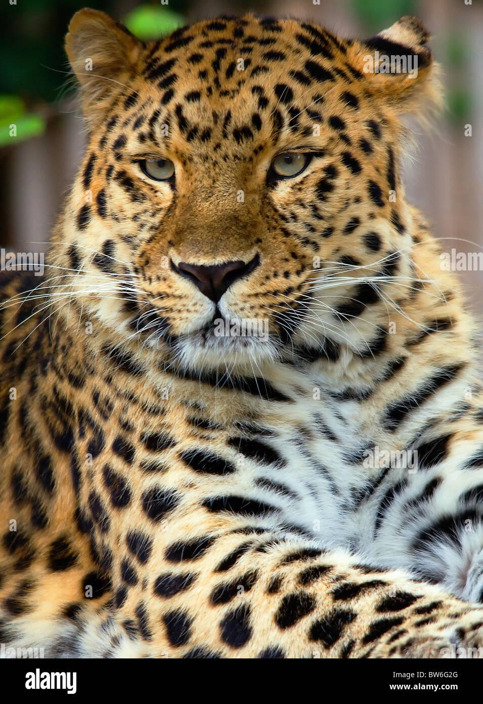 Amur Leopard portrait - Stock Image