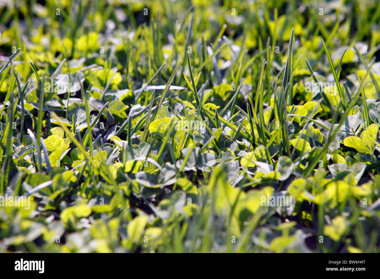 Blades of grass and clover - Stock Image