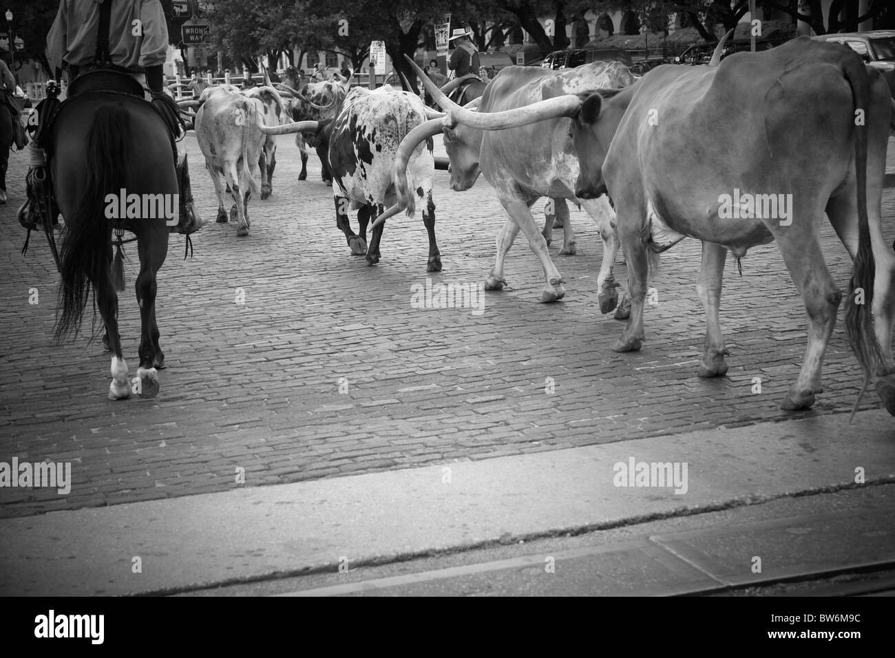 Cowboy at the cattle drive, Dallas Forth Worth Stock Yards - Stock Image