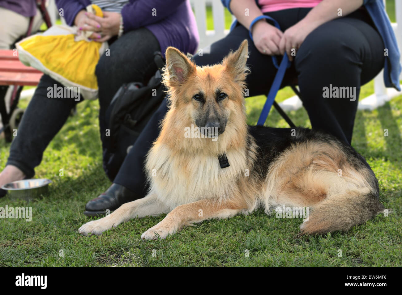 Young alsatian (german shepherd) dog lying on grass, looking at the camera - Stock Image