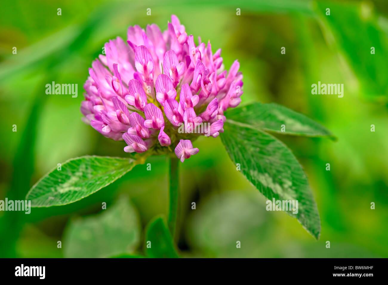Red Clover (trifolium pratense) flowerhead Stock Photo