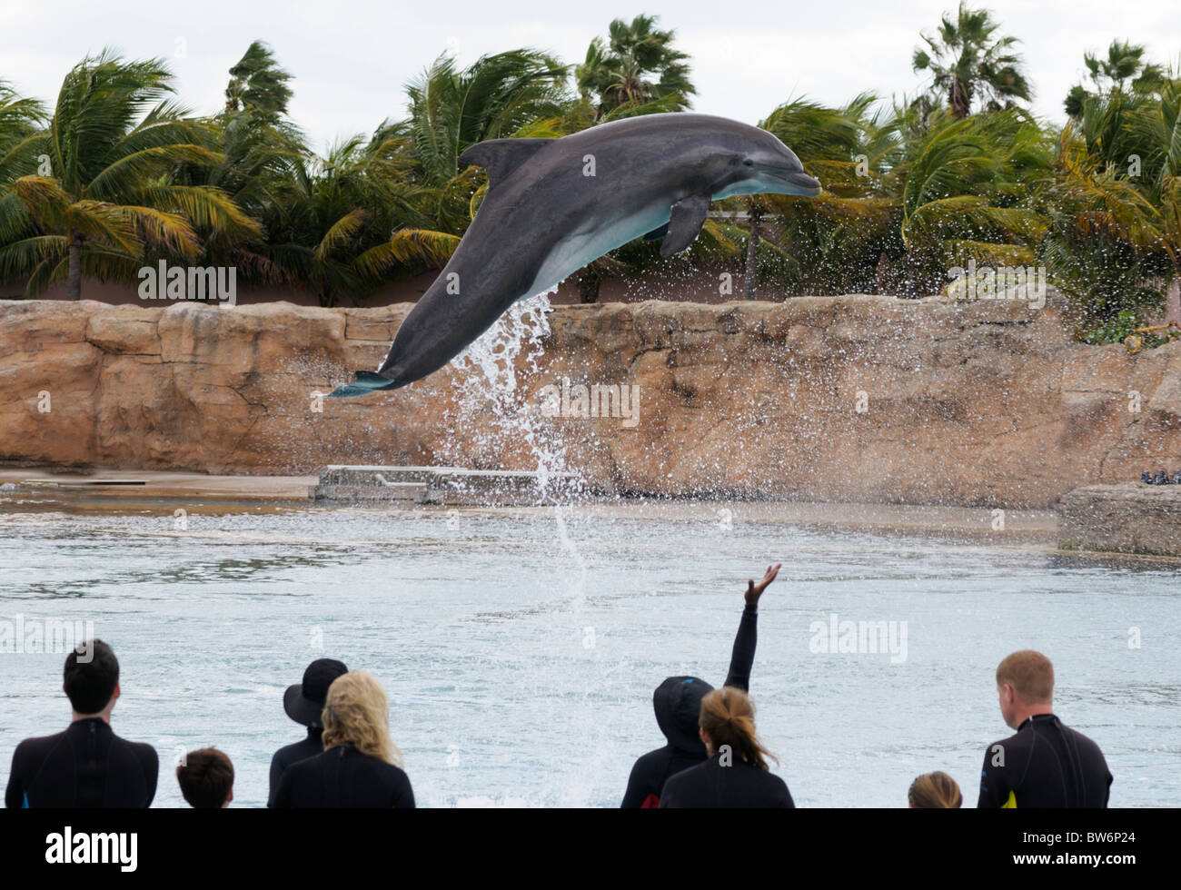 Dolphin leaping out of the water, dolphin interaction, Atlantis resort, Paradise Island, The Bahamas - Stock Image
