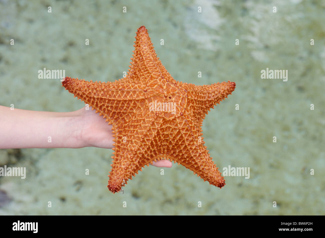 Sea star (red cushion star, Oreaster reticulatis) in a child's hand, Paradise island, The Bahamas - Stock Image