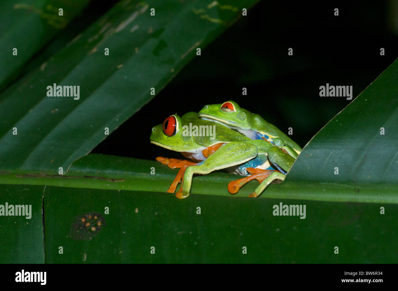 A pair of mating Red-eyed Treefrogs (Agalychnis callidryas) in Alajuela, Costa RIca. - Stock Image
