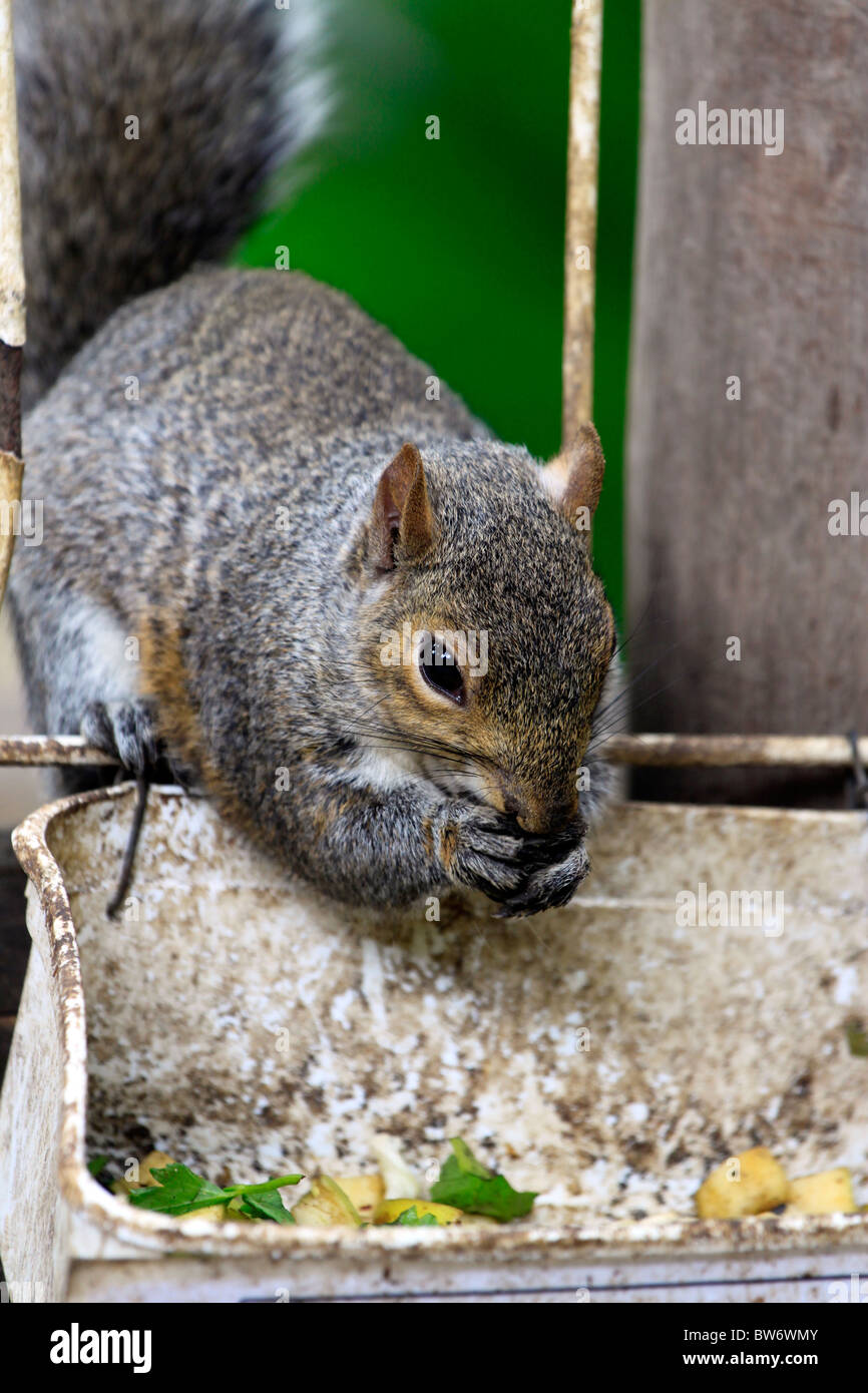 Squirrel (Sciuridae)feeding in World of Birds, Hout Bay, South Africa. - Stock Image