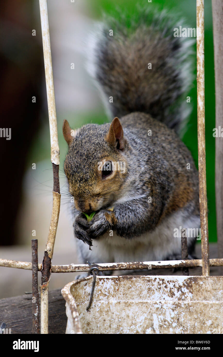 Squirrel (Sciuridae) feeding in World of Birds, Hout Bay, South Africa. - Stock Image