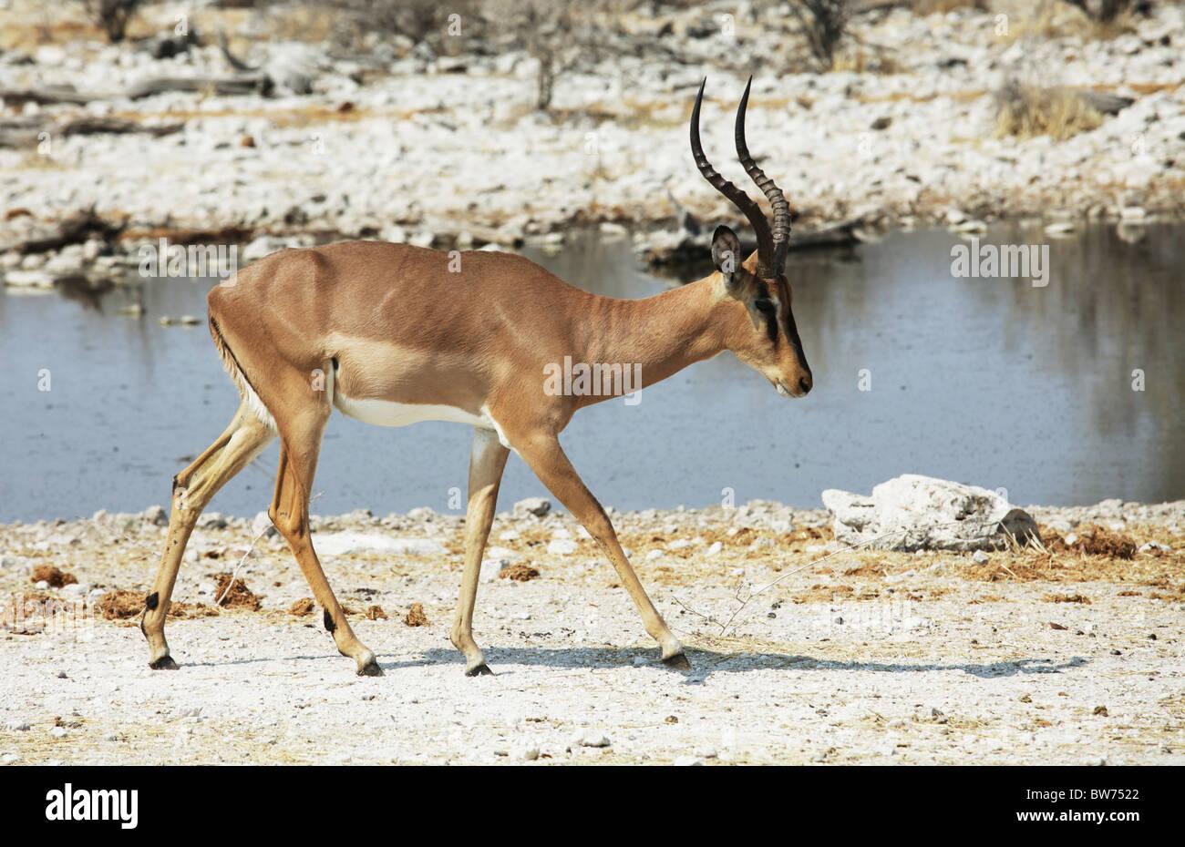 Antelope on waterhole - Stock Image