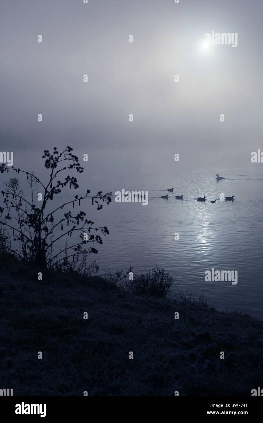 Ducks swimming across a foggy lake - Stock Image