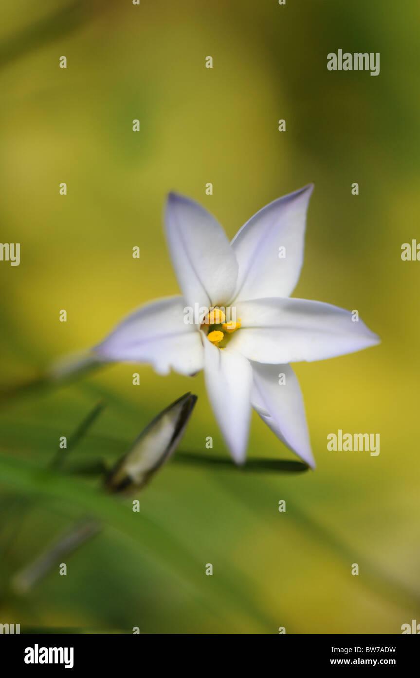 A single Pale blue flower of Ipheion - Ipheion uniflorum - Stock Image