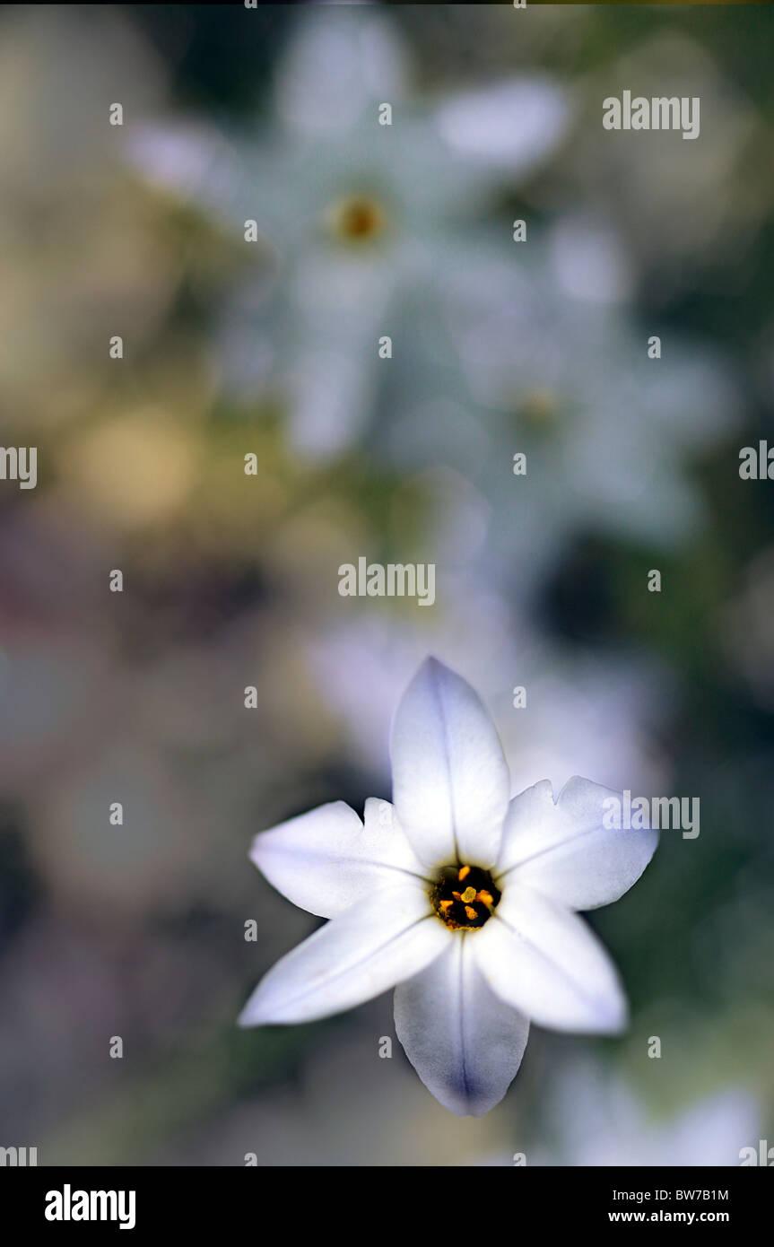 Pale blue flowers of Ipheion - Ipheion uniflorum - Stock Image