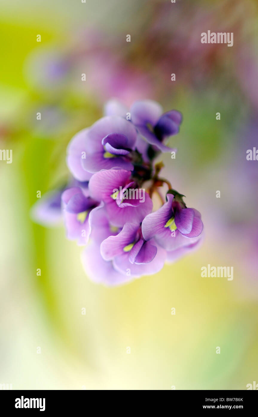 Little flower of the vigorous climber Hardenbergia violacea monophylla - Purple Coral pea 'Happy Wanderer' - Stock Image