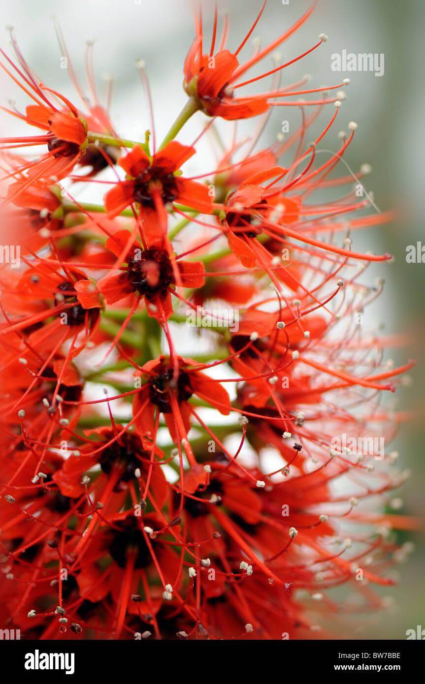 The spiky Red flowerhead of Greyia sutherlandii - Natal Bottlebrush flower - Stock Image