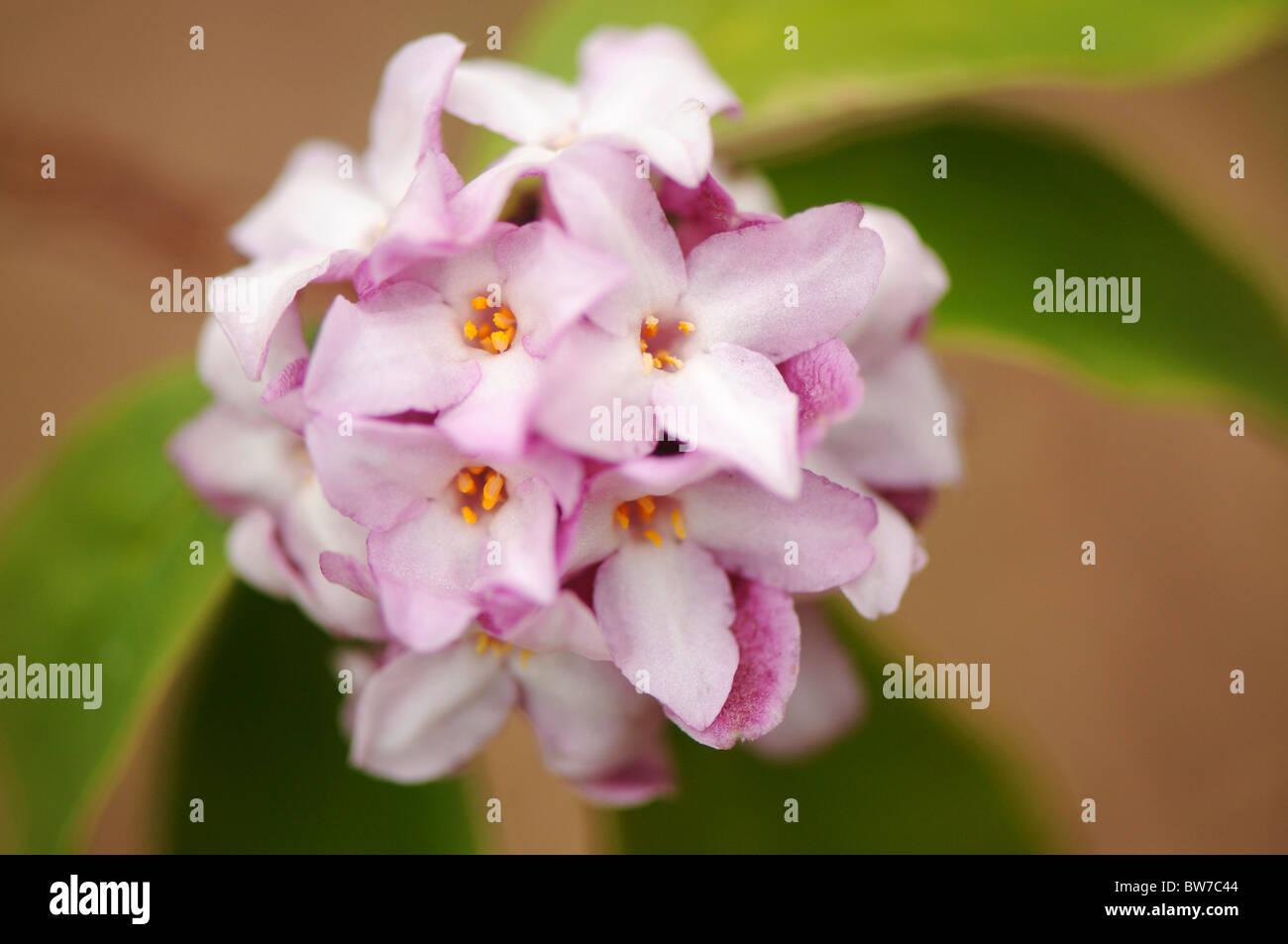 A single round flowerhead of Daphne bholua 'Limpsfield' - Stock Image