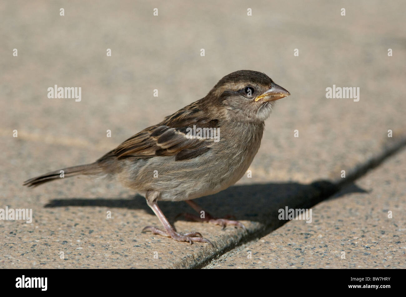 House Sparrow (Passer domesticus), juvenile standing on pavement. - Stock Image