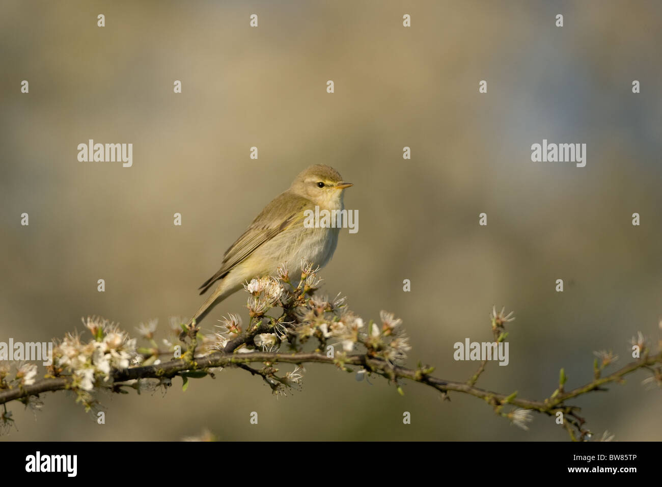 The Willow Warbler (Phylloscopus trochilus) is a very common and widespread leaf warbler. Stock Photo