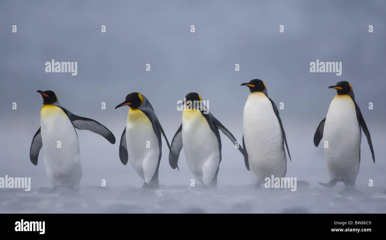 King Penguin (Aptenodytes patagonicus) group in snow storm, Salisbury Plain, South Georgia, Antarctica. November Stock Photo