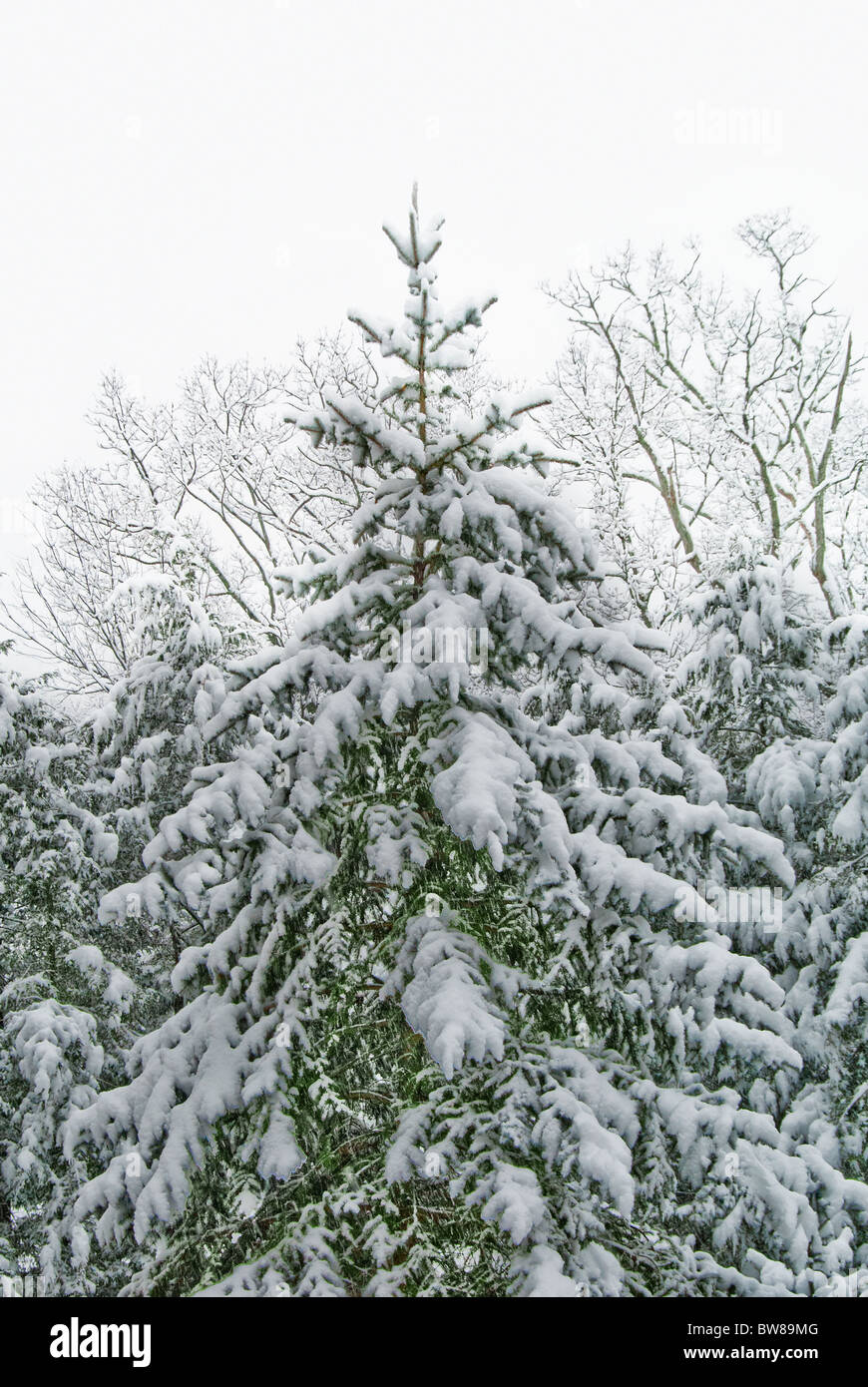 Blue Spruce tree covered with snow in Asheville, North Carolina, USA - Stock Image