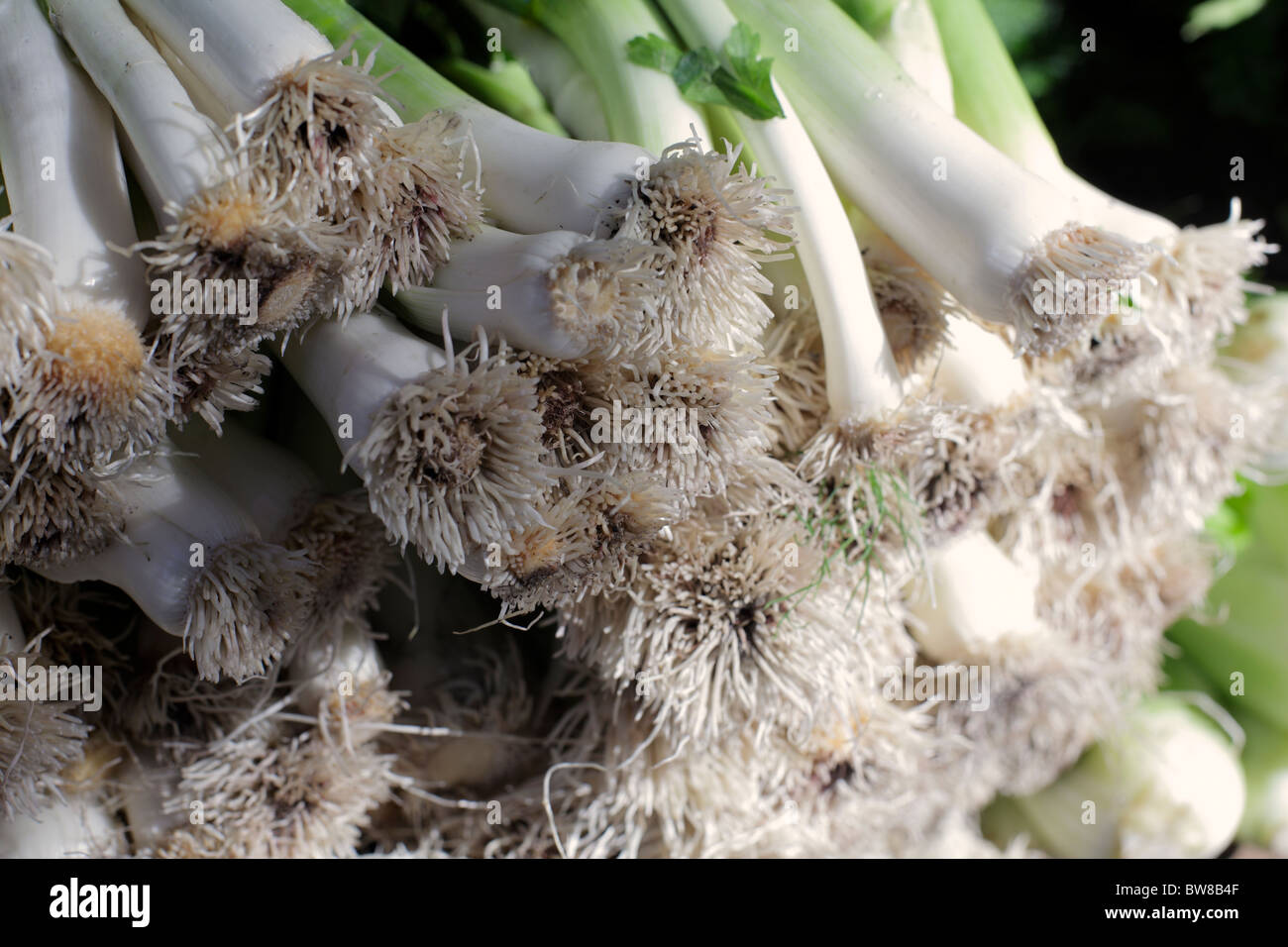 stack of leek - Stock Image