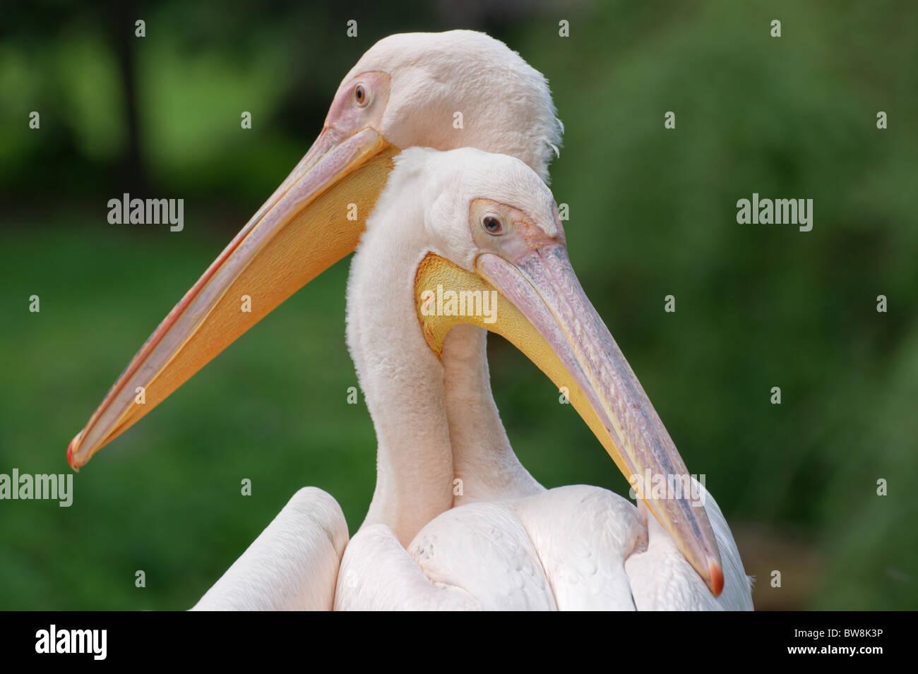 Great white pelican (Pelecanus onocrotalus) pair closeup - Stock Image