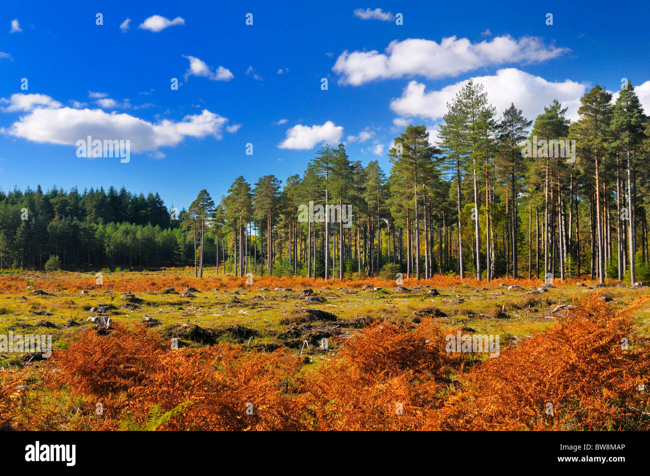 New Forest National Park, pine tree plantation clearing, Hampshire, England, UK Stock Photo