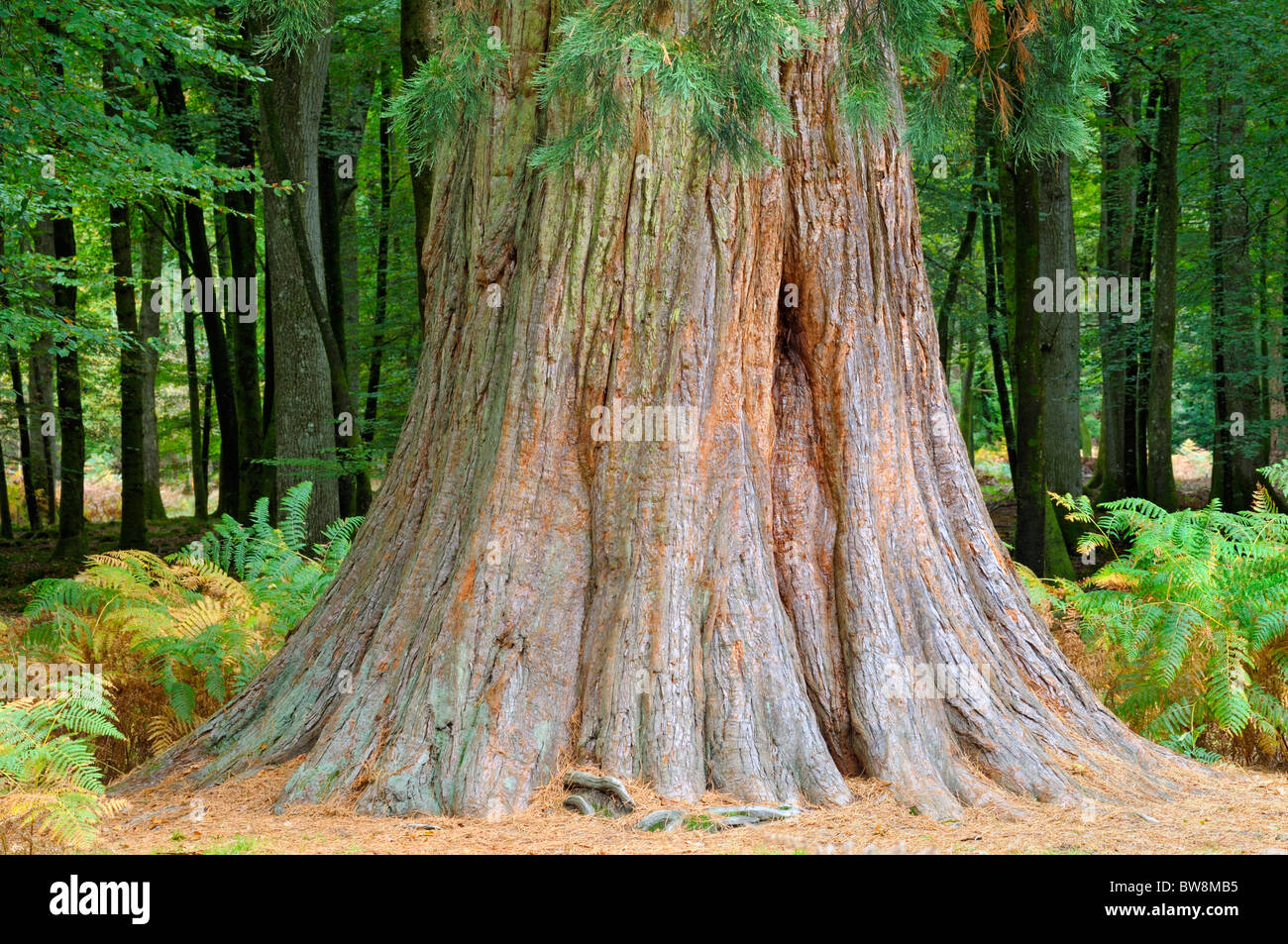 Giant Redwood/Sequoia tree (Sequoia Giganteum) aka Wellingtonia - Stock Image