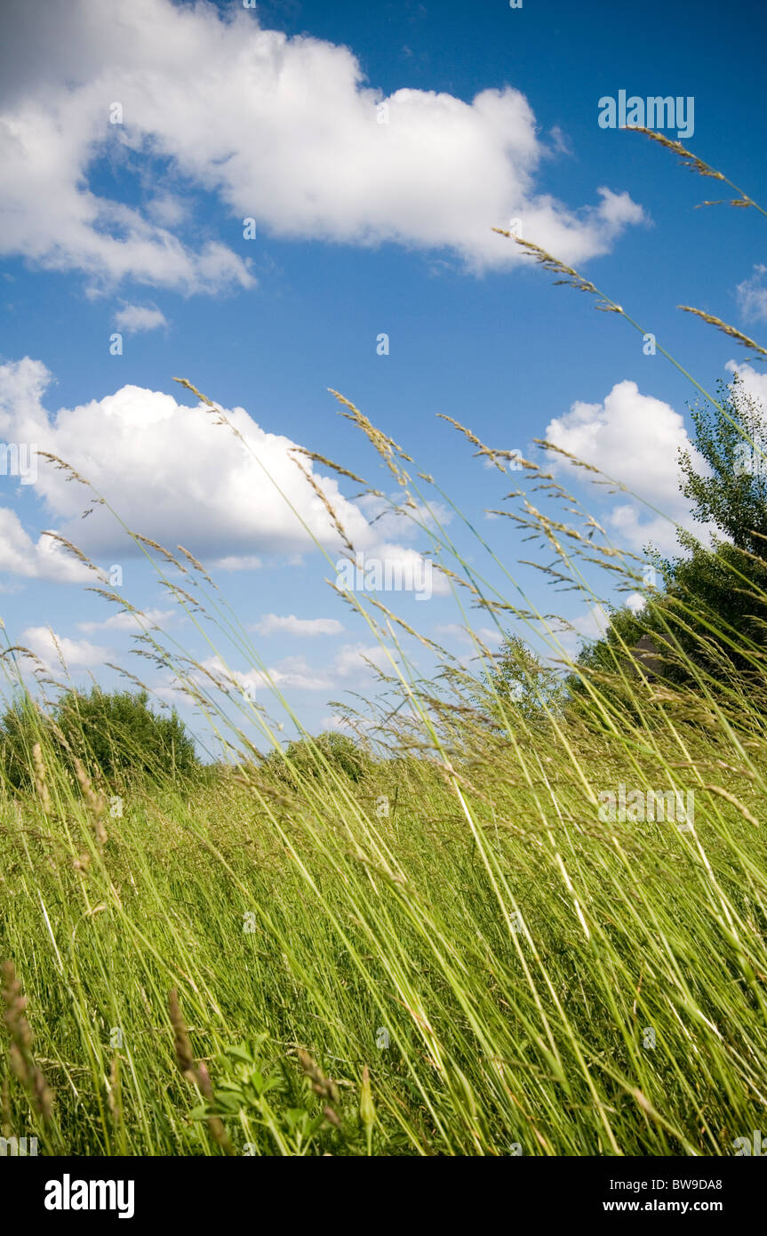 wild grass grasses long meadow meadows blue skies sky natural pasture environment pastures green is all ways always - Stock Image