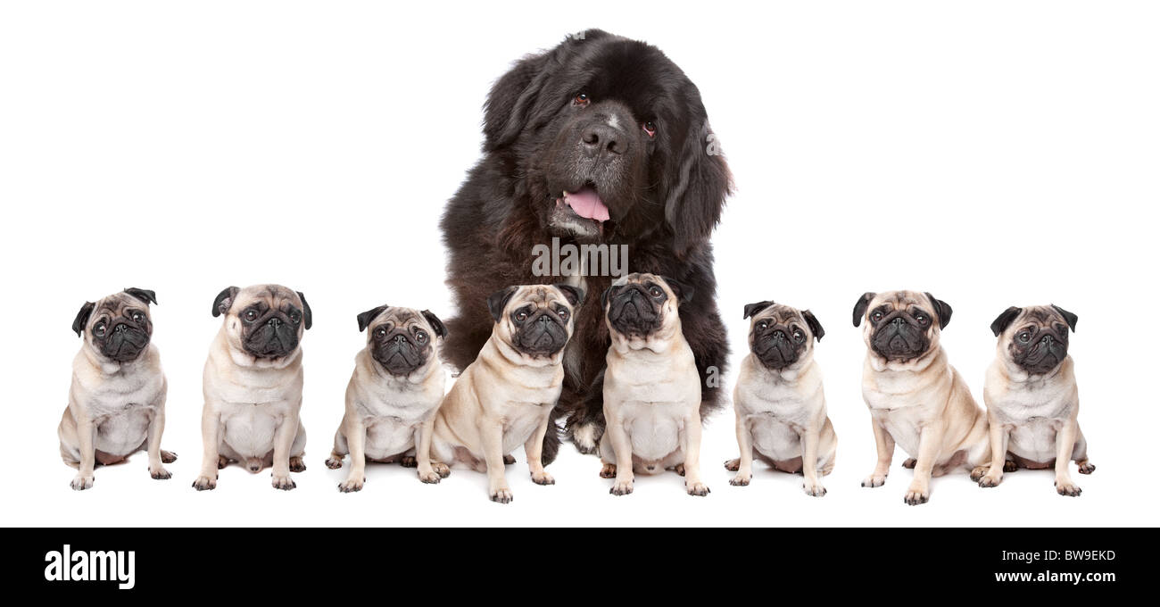 A huge newfoundland dog and eight pugs sitting in a row isolated on a white background - Stock Image