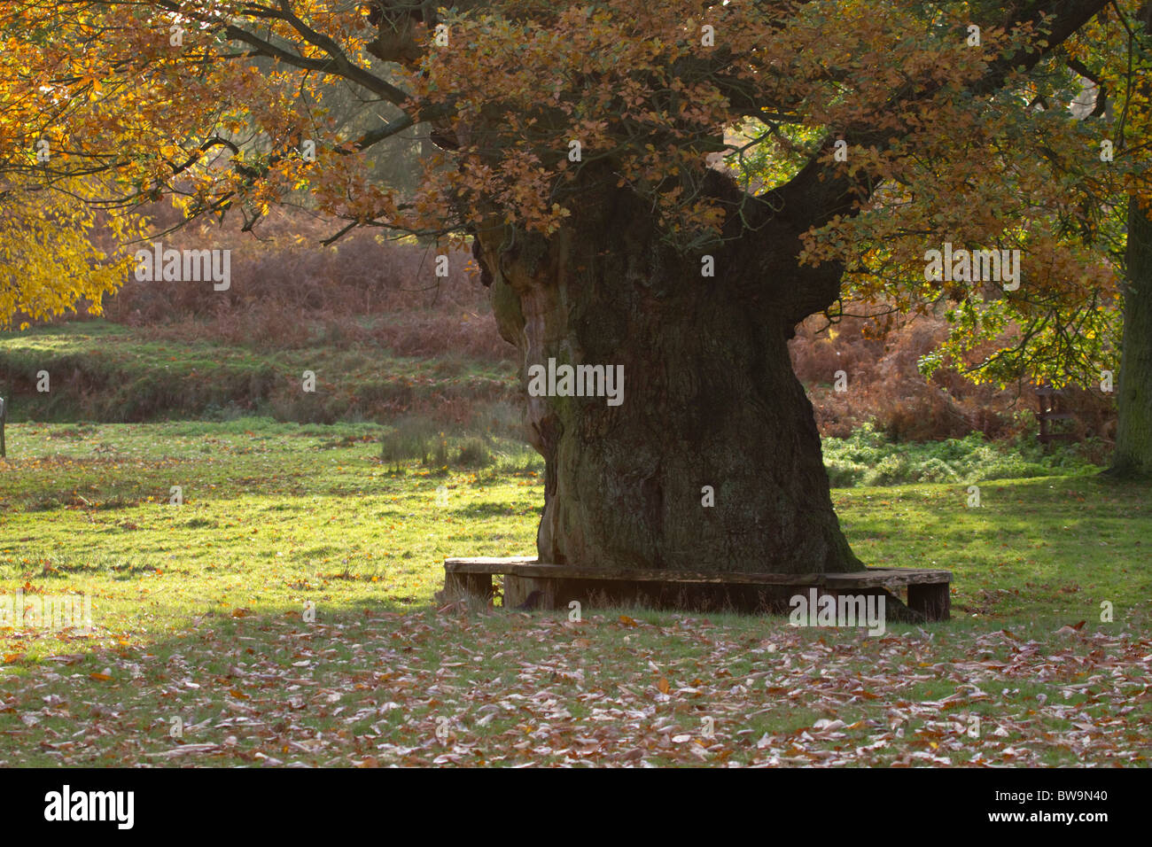Bradgate Park; Leicestershire; old oak tree - Stock Image